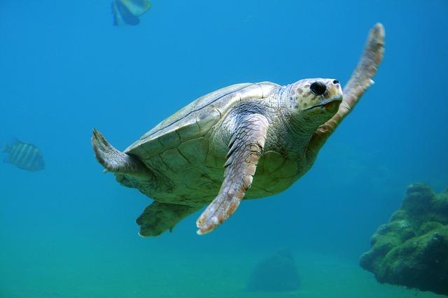 Korytnačka pod vodou.jpg
