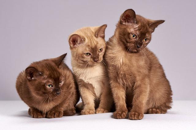 Tri hnedé mačiatka.jpg